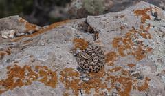 Right on the edge of the Grand Canyon. (mfetz1026) Tags: arizona grandcanyon rattlesnake snake