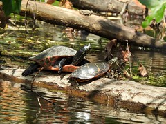 Northern Red-bellied Turtle, Eastern Painted Turtle, Bucks County, PA, 7/4/19 (sstaedtler) Tags: turtles nature animal wildlife outdoors buckscountypa reptile herping holiday conservation