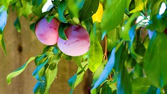 More Than A Plum (parmrussrap) Tags: plums plants trees fruit pairs purple leaves green