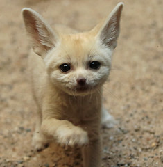 fennec Artis 094A0082 (j.a.kok) Tags: animal artis africa afrika fox fennek fennecfoxfennecuszerdavulpeszerdavulpes fennec woestijnvos vos mammal zoogdier dier predator baby babyfox babyvos