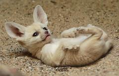 fennec Artis 094A0124 (j.a.kok) Tags: animal artis africa afrika fox fennek fennecfoxfennecuszerdavulpeszerdavulpes fennec woestijnvos vos mammal zoogdier dier predator baby babyfox babyvos
