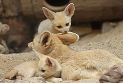 fennec Artis 094A0242 (j.a.kok) Tags: animal artis africa afrika fox fennek fennecfoxfennecuszerdavulpeszerdavulpes fennec woestijnvos vos mammal zoogdier dier predator baby babyfox babyvos