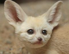 fennec Artis 094A0350 (j.a.kok) Tags: animal artis africa afrika fox fennek fennecfoxfennecuszerdavulpeszerdavulpes fennec woestijnvos vos mammal zoogdier dier predator baby babyfox babyvos