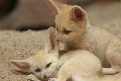 fennec Artis 094A0324 (j.a.kok) Tags: animal artis africa afrika fox fennek fennecfoxfennecuszerdavulpeszerdavulpes fennec woestijnvos vos mammal zoogdier dier predator baby babyfox babyvos
