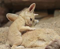 fennec Artis 094A0263 (j.a.kok) Tags: animal artis africa afrika fox fennek fennecfoxfennecuszerdavulpeszerdavulpes fennec woestijnvos vos mammal zoogdier dier predator baby babyfox babyvos