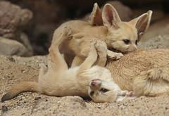 fennec Artis 094A0219 (j.a.kok) Tags: animal artis africa afrika fox fennek fennecfoxfennecuszerdavulpeszerdavulpes fennec woestijnvos vos mammal zoogdier dier predator baby babyfox babyvos