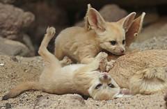 fennec Artis 094A0220 (j.a.kok) Tags: animal artis africa afrika fox fennek fennecfoxfennecuszerdavulpeszerdavulpes fennec woestijnvos vos mammal zoogdier dier predator baby babyfox babyvos