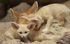 fennec Artis 094A0195 (j.a.kok) Tags: animal artis africa afrika fox fennek fennecfoxfennecuszerdavulpeszerdavulpes fennec woestijnvos vos mammal zoogdier dier predator baby babyfox babyvos