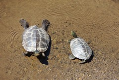 Female (left) and Male (right), Northern Map Turtles, Bucks County, PA, June 2019 (sstaedtler) Tags: map turtle nature outside reptile conservation herping outdoors animal wildlife buckscountypa