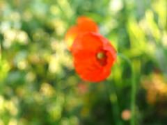 POPPIES WITH BOKEH P6300344 (hlh 1960) Tags: mohnblumen blumen flower poppies bokeh red rot farben colour licht light nature natur summer sommer