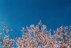 (Antía Davila) Tags: primavera spring printemps cherry tree madrid spain city urban photography 35mm film pentax k1000 oark flowers blossom