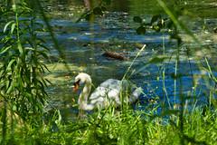 IMG_5982 (gidlark) Tags: flora plant water pond bird swan white