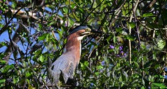 On the hunt for frogs - Green Heron (foto tuerco) Tags: green heron frog pollywog hunt oregon