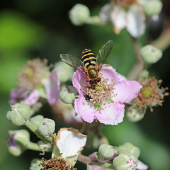 Fly Day Friday Hover on Bramble! (RiverCrouchWalker) Tags: hoverfly insect invertebrate bramble flower wealdcountrypark brentwood essex june 2019 summer flydayfriday hfdf