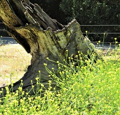 Rancho San Antonio (PenangCA) Tags: ranchosanantonio openspacepreserve california summer nature hiking trail outdoor permanentecreektrail lowermeadowtrail highmeadowtrail wildcatlooptrail canon inventyouradventure yellow flowers tree