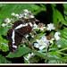 White Admiral Limenitis camilla (li-men-EYE-tiss ka-MI-luh)