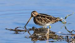 Snipe F00736 Burton Mere RSPB D210bob DSC_5335 (D210bob) Tags: snipe f00736burtonmererspbd210bob dsc5335 nikond7200 birdphotography birdphotos naturephotography naturephotos nikon wildlifephotography nikon200500f56 cheshire rspb
