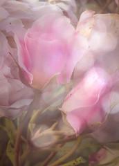 Gather ye rosebuds.... (judy dean) Tags: judydean 2019 garden iphone rosebuds rose flowers pink