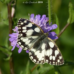 Marbled white (LPJC (away for August)) Tags: robertsfield lincolnshire uk 2019 lpjc marbledwhite