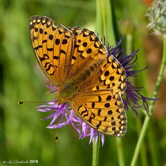 Dark green fritillary (LPJC (away for August)) Tags: robertsfield lincolnshire uk 2019 lpjc