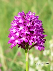 orchid (LPJC (away for August)) Tags: robertsfield lincolnshire uk 2019 lpjc