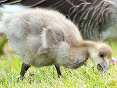 Gobbling Gosling (Andy Sut) Tags: cute holmepierrepont nature bird feeding young gosling greygoose panasonic lumix uk england nottingham andysutton