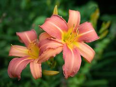 Lily (François dt) Tags: canon 6dmarkii canon6dmarkii nature flower gardenflower