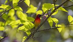 Mrs Gould's sunbird. (richard.mcmanus.) Tags: mrsgouldssunbird sunbird bird wildlife china sichuan birds chinesebirds mcmanus