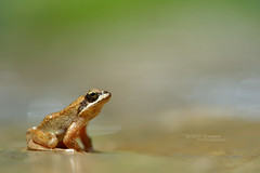 Grenouille des Pyrénées Rana pyrenaica (Matthieu Berroneau) Tags: amphibien anoure grenouille 64 pyrénéesatlantiques pyrénées rana pyrenaica esterençuby arpea des france herpéto herpeto trip nature amphibian amphibia anoura anouran tail less amphibians pyrenean frog pirenaica anura tailless wildlife varliagyviai basoigel piriniotarra ff 24x36 full frame ranapyrenaica pyreneanfrog grenouilledespyrénées aquitaine régionaquitaine fe f28 g oss fe90f28macrogoss sonyfesonyfe2890macrogoss objectifsony90mmf28macrofe sel90m28g sonya7iii sonya7mk3 sonyalpha7mark3 sonyalpha7iii a7iii 7iii 7mk3 sonyilce7m3 herp herping
