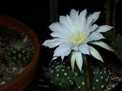 Night flowering cactus (Hornbeam Arts) Tags: echinopsis