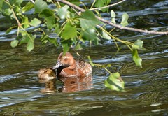 A Mother`s Love (Eleanor (New account))) Tags: duck duckling femalepochard pochard pochardduckling water leaves thelongwater kensingtongardems london nikond7100 june2019
