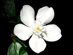 Anglų lietuvių žodynas. Žodis jasmine reiškia n bot. jazminas lietuviškai.