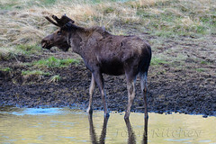 Young Bull Moose (ritchey.jj) Tags: moose