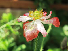 Una amapola muy especial  EXPLORE - July 5th 2019 (Micheo) Tags: amapola poppy jardin garden explore ok best yourbestshot2019 flickrgroup flickrsellection