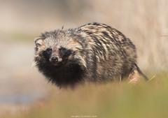 Raccoon dog (Sergey Ryzhkov) Tags: raccoondog nyctereutesprocyonoides dog fox mangut tanuki canid canidae raccoon animal fauna wild wildlife nature wilderness ukraine kinburn steppe fur hanting invasive species