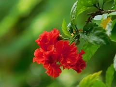 Red Hibiscus (no filters) (nuwaus) Tags: red hibiscus flower nature nikon macro dreams