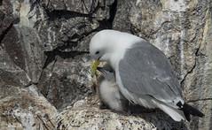 Kittywake and Chick (Dibbly Dobbler) Tags: kittywakes farne island sonyrx10iii