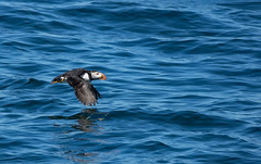 Puffin (Dibbly Dobbler) Tags: puffin farneislands sonyrx10iii