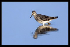 LESSER YELLOWLEGS (PHOTOGRAPHY STARTS WITH P.H.) Tags: lesser yellowlegs lodmore reserve weymouth nikon d500 500mm afs vr teleconverter 14 gitzo mk 5 wimberley wh200 gimbal