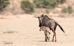 Into an unsure future..... (Jambo53 ()) Tags: crobertkok kgalagaditransfrontierpark southafrica nikond800 500mmf4 kgalagadi