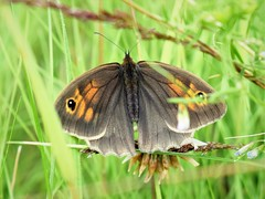 Meadow Brown Butterfly (doranstacey) Tags: nature wildlife insects meadow brown butterfly kiveton woodland macro nikon d5300 nikkor 1855mm