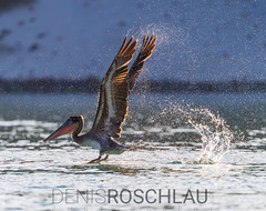 Brown Pelican taking off (Denis Roschlau Photography) Tags: bcs bajacaliforniasur braunerpelikan braunpelikan flügel golfvonkalifornien gulfofcalifornia lapaz meer meerespelikan mexiko natur nordamerika northamerica pelecanidae pelecanus pelecanusoccidentalis pelikane sea seaofcortez seaofcortés unitedmexicanstates vereinigtemexikanischestaaten vermilionsea vögel wasser animals aves birds brownpelican feathers federn mexico nature pelicans sideon sideseitlich sideview tier vonderseite wasservögel water waterbirds wildanimals wildetiere wildestier wildlife wildtier wings backlit droplets spray