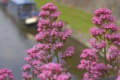 RedValerian (Tony Tooth) Tags: nikon d7100 sigma 70mm flower wildflower redvalerian centranthusruber canal peakforest buxworthbasin bugsworthbasin whaleybridge derbyshire