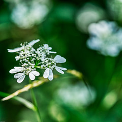 White in Green (*Capture the Moment*) Tags: 2019 fotowalk friaul friuli june juni macro makrofotografie sonya7m2 sonya7mii sonya7mark2 sonya7ii sonyilce7m2