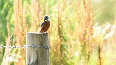 Male Kingfisher, Dinton Pastures (rq uk) Tags: rquk nikon d750 dintonpastures nikond750 tamronspaf150600mmf563divcusd bitternhide kingfisher male