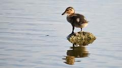 Juvenile Mallard Duck, Dinton Pastures (rq uk) Tags: rquk nikon d750 dintonpastures bitternhide nikond750 tamronspaf150600mmf563divcusd juvenile mallardduck