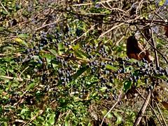Invasive (krossbow) Tags: maryland calvert county st leonard jefferson patterson park museum ligustrum obtusifolium amur privet border black berry berries drupes invasive tier 2 plant bush shrub