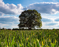 The Tree At Trysull (Lukecrtr_Photography) Tags: tree trysull shropshire farmers field focus stack wolverhampton sky landscape photograpghy
