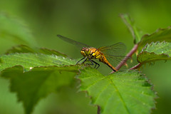 Common Darter (cabalvoid) Tags: woodland common wildlife dragonfly nature water lincolnshire darter lake insect wild odonata