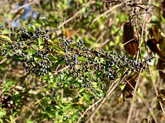 Invasive Border Privet (krossbow) Tags: maryland calvert county st leonard jefferson patterson park museum ligustrum obtusifolium amur privet border black berry berries drupes invasive tier 2 plant bush shrub